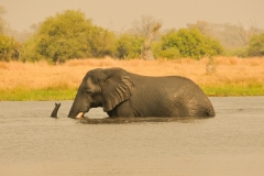 MOREMI ELEPHANT