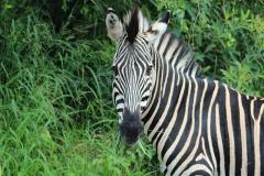 Mlilwane Zebra 2