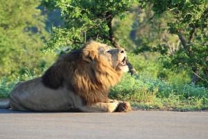 BANNER LION 2